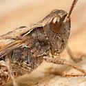 Orphulella pelidna  - Chorthippus - male