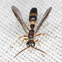 Rhopalosomatid Wasp - Liosphex varius - male