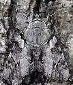 Catocala Moth - Catocala dejecta