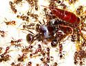 Big-headed Ant (Pheidole rhea), Mt Lemmon, AZ, 8-24-14 - Pheidole rhea
