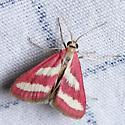 Odontiinae? Crambid moth - Noctueliopsis rhodoxanthinalis