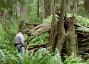 Tree-fall in Pack Forest old growth
