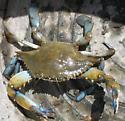 Blue Crab - Callinectes sapidus