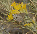 Hairstreak? - Strymon melinus