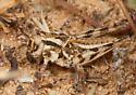 White-lined Grasshopper - Conozoa rebellis