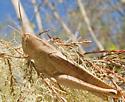 Acrididae? - Schistocerca damnifica - female