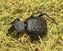 Cyrchus tuberculatus, I think. - Cychrus tuberculatus