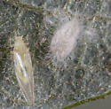 Willow Psyllid - Bactericera salicivora