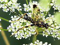Spilopteron? - Spilopteron formosum - female