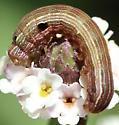 caterpillar on frogfruit - Spodoptera