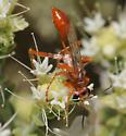 Sphex sp.? - Prionyx foxi - female