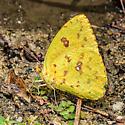 Yellow Butterfly - Phoebis sennae - female