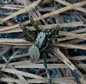 Hairy Spider - Neoscona crucifera