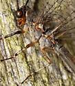 ant lion - Myrmeleon immaculatus