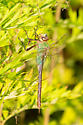 Aqua/green dragonfly - Anax junius