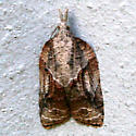 Which moth is this, please? - Platynota idaeusalis - female