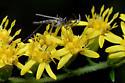 Male mosquito? - Psorophora ferox - male