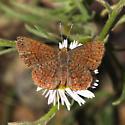 Arizona Metalmark - Calephelis arizonensis - male