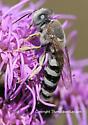 Bee - Bembix - female