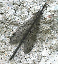 insect? - Brachynemurus nebulosus - male