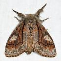 Streaked Tussock Moth - Dasychira obliquata