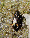 Unknown - Bembidion