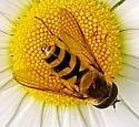 Syrphus torvus?  - Epistrophe grossulariae