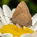 Butterfly - Satyrium caryaevorus