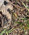 Four-striped Leaftail (Phyllogomphoides stigmatus)?