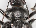 BG2680 E6089 - Calosoma sayi