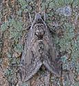 MothSphinx08232020_GS_1910 - Manduca quinquemaculatus