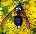 Unknown - Dolichovespula maculata - male
