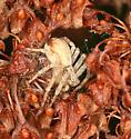 running crab spider, probably dispar - Philodromus dispar