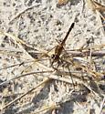 Seaside Dragonlet female? - Erythrodiplax berenice - female