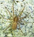 Lycosidae - Gladicosa