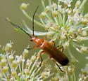 Beetle Type - Rhagonycha fulva