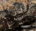 Whitespotted Sawyer - Monochamus scutellatus