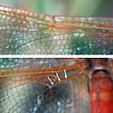 Golden-winged or Needhams'? - Libellula needhami - male