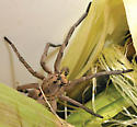 Spider in Compost Bucket - Hogna carolinensis - male