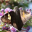 Butterfly ID Help! - Achalarus lyciades