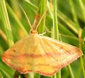chickweed geometer - Haematopis grataria