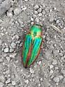 I found this beetle on Mac Donald Pass outside of Helena Mt.  - Buprestis aurulenta