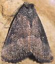Owlet Moth - Plagiomimicus