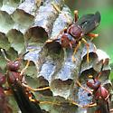 Polistes Annularis - Three at work - Polistes annularis
