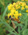 worn Grass-carrying Wasp - Isodontia elegans
