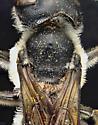 Megachilidae, dorsalX with mites - Megachile pugnata - female