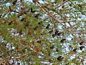 Pipevine Swallowtail roosting - Battus philenor