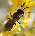 unknown bee - Halictus ligatus