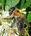 Brown-belted? - Xylocopa virginica
