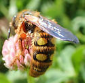 Scollidae - Crioscolia alcione - female
